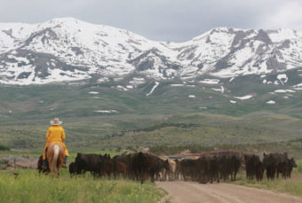 Man on horse herding cows with snow capped mountains in the distance